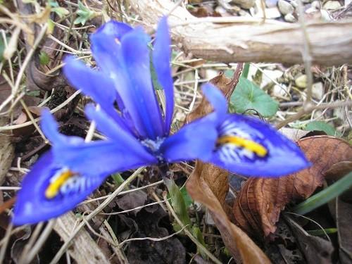 Iris reticulata Edward?