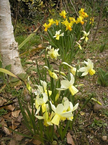 Last autumn, I felt that the border by the field needed brighteening up at this time of year, so planted some narcissus. I know I made a note of their names, but can I find it anywhere...!