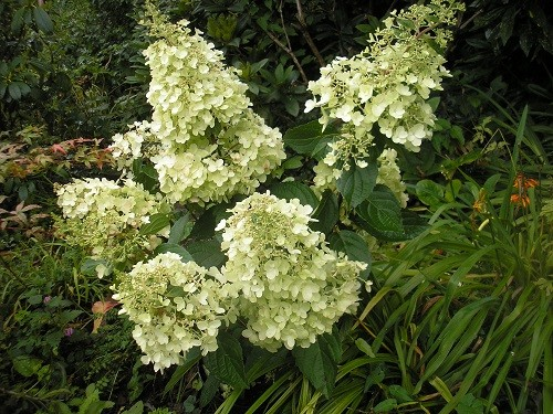 Hydrangea paniculata Candle Light.