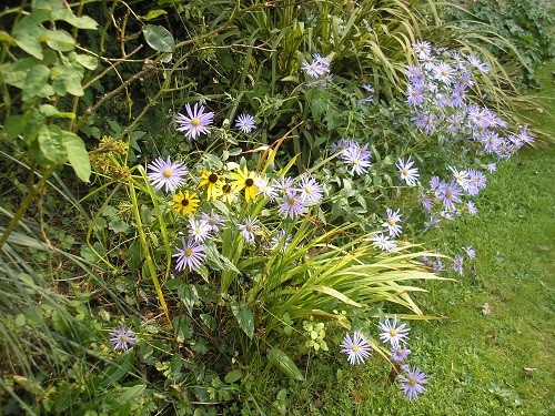 Aster Monch and Rudbeckia