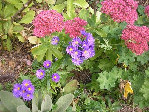 Asters with Sedum