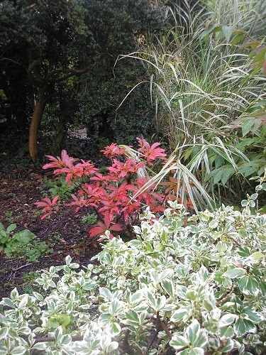 Azalea Persil contrasting with Miscanthus sinsnsis variegata behind and variegatedEuonymus in front.