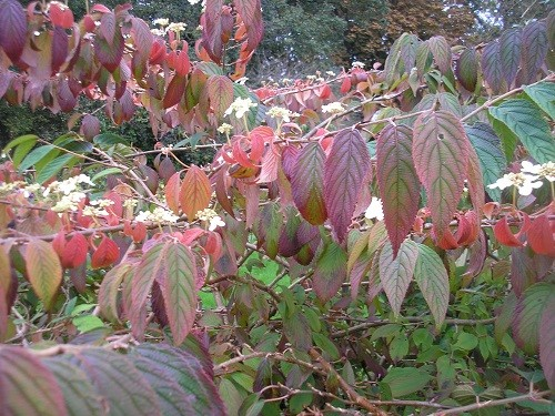 This was shown on GBBD to show the flowers flowering out of season, but now it is because the leaves are on their way to becoming deep burgundy.
