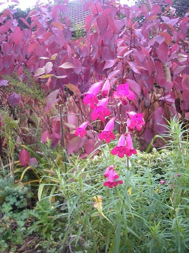 Penstemon Garnet still flowering and picking up the colour of the Cornus leaves behind it.
