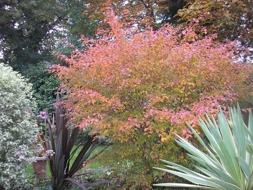 Prunus Kojo-no-mai.