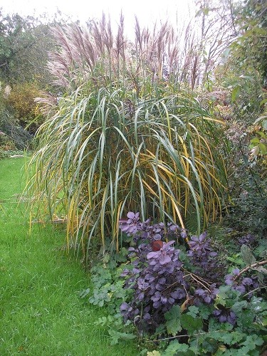 The fountain of Miscanthus sinensis Malepartus is now changing from green to gold.