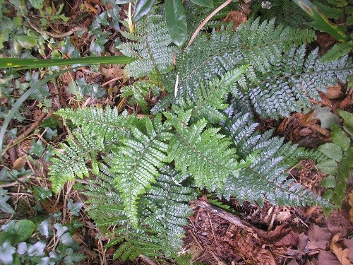 Holly fern.