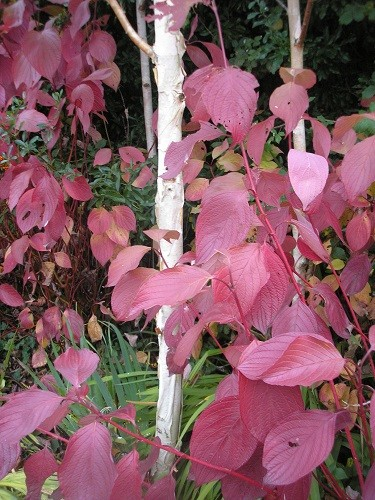 Betula jackmontii and cornus