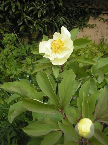 Peony mlokosewitschii