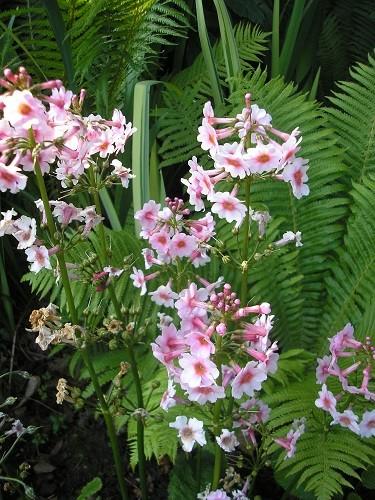 P.japonica Apple Blossom