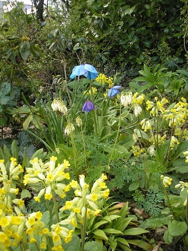 Cowslips and meconopsis