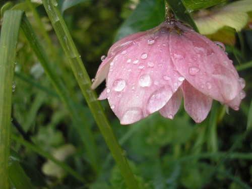 My last photo of a hellebore with raindrops before coming in as it was raining again!