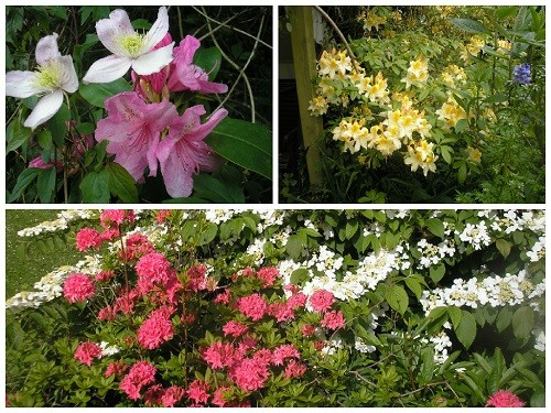Azaleas and Rhododendron.