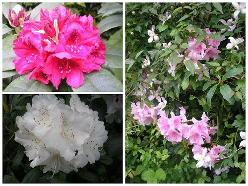 Rhododendron and Clematis.