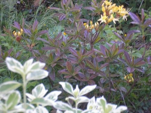 Rhododendron/Azalea