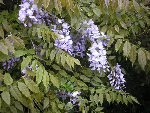 I'll start with the Wisteria that I thought we had lost about 20 yrs ago! All of a sudden I found these beautiful flowers by the garage, si it hadn't died after all!