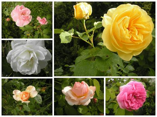 Roses 5 jpg