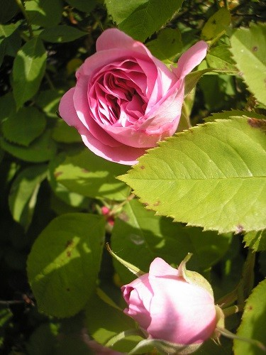 Gertrude Jekyll has the most wonderful perfume, but it is so hot today, the perfume had evaporated by the time i took the photo, must have a sniff this evening!