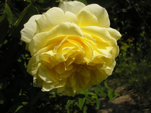 R. The Pilgrim, such a lovely gentle yellow, fading to white at the edges.