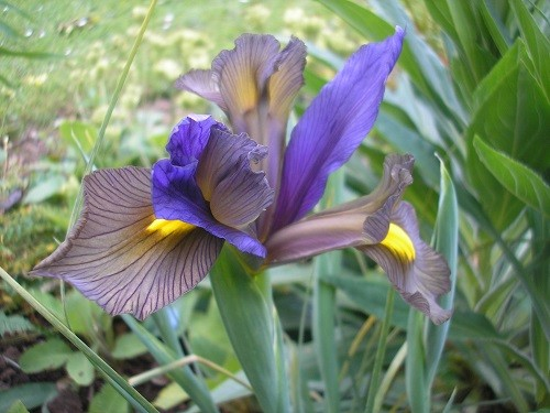 One of a few Dutch Iris that are looking good at the moment.
