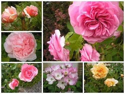Roses no 1 jpg