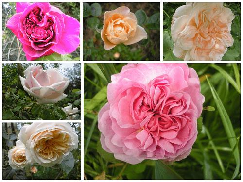 Roses no 2 jpg