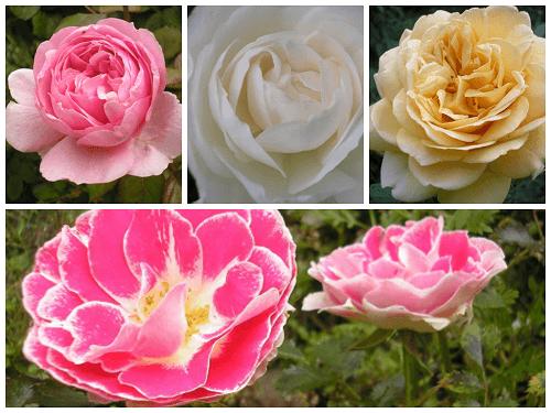 Roses no 3 jpgpng