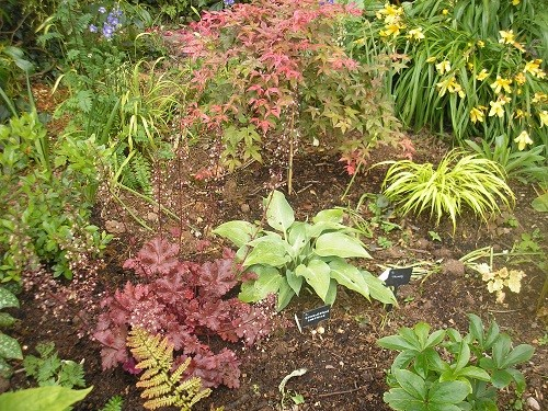 Heuchera, Hosta and Hakonechloa