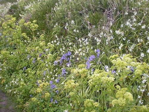 Bluebells,alexanders and allium