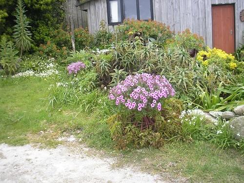 St. Martins geranium maderense