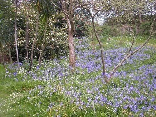Bluebells at Carreg Dhu
