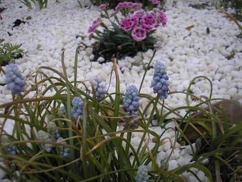 Muscari Valerie Finnis with Dianthus. The muscari have been flowering on and off since January.