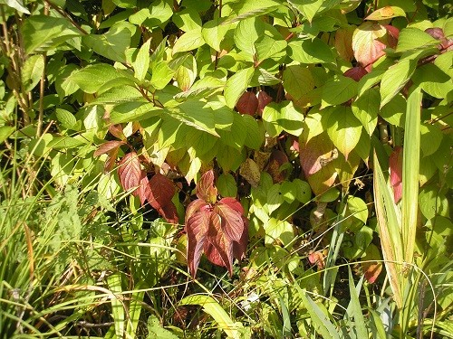 Cornus  sibirica Westonbirt