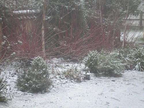 Cornus in the snow.