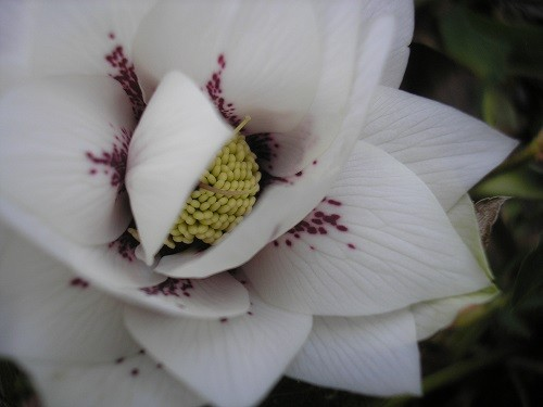 Double in rhododendron bed