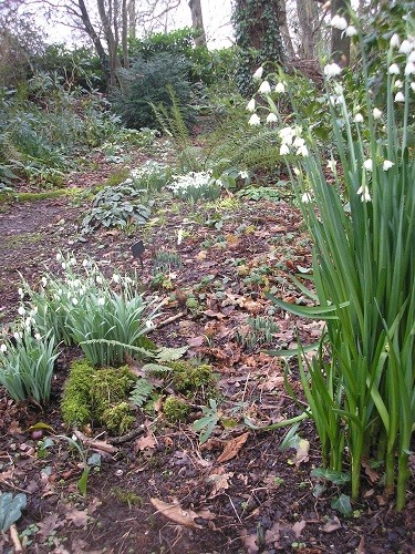 Showing the difference between Galanthus Cedric's Prolific and Leucojum aestivum.