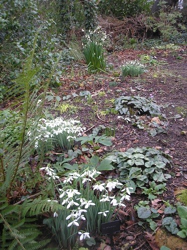 The woodland will get more and more white as other snowdrops open and join in the party in the woodland.