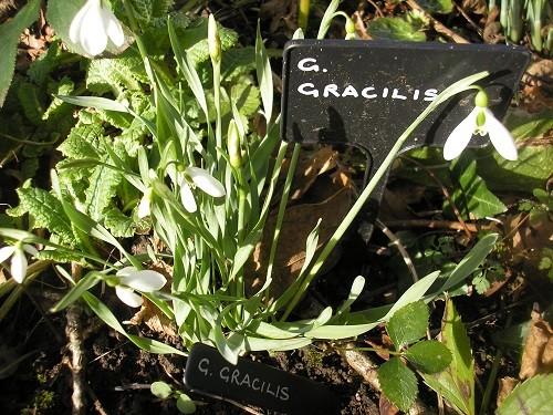 G gracilis