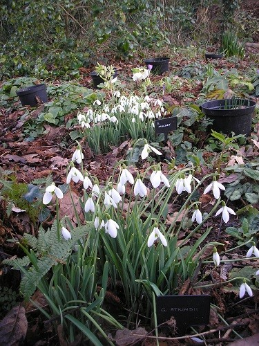 Long view of snowdrops