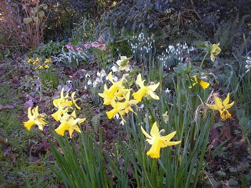 Narcissus start with Tete a Tete