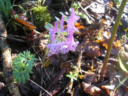 Corydalis tuberosa seedling.