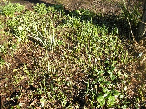 Snakeshead fritillaries poised, waiting to flower.