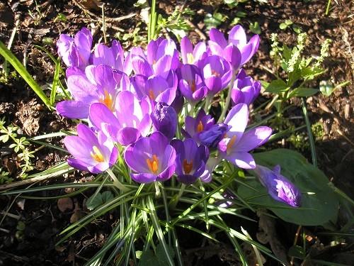 Crocus tommasinianus Whitewell Purple.