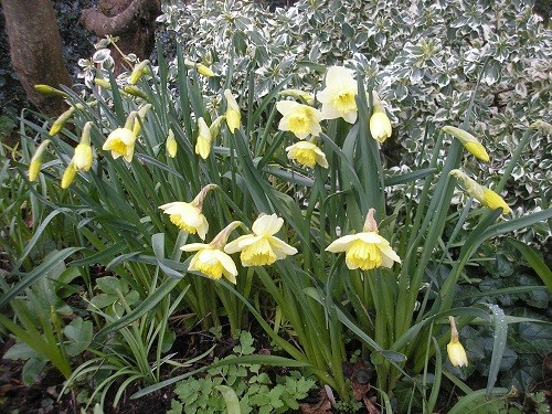Narcissus St. Patrick's Day