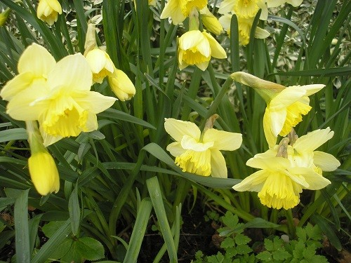 St. Patrick's Day narcissus