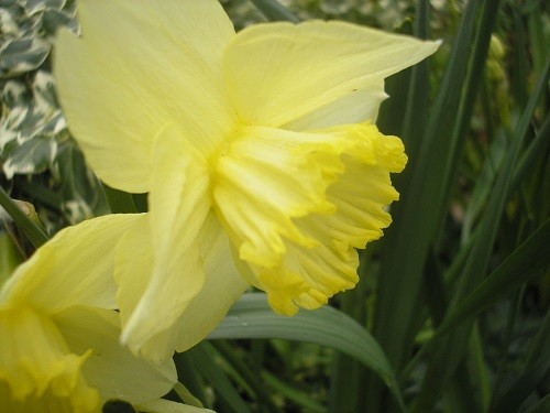 St Patrick's Day narcissus