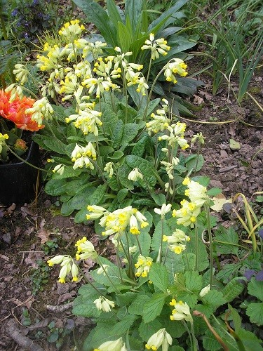 Cowslips are seeding around and spreading nicely, all without any effort from me.