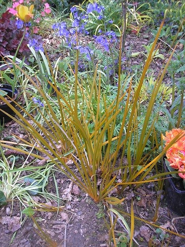 Libertia peregrinans has settled in nicely. These are bits from the clump in the opposite bed across the grass.