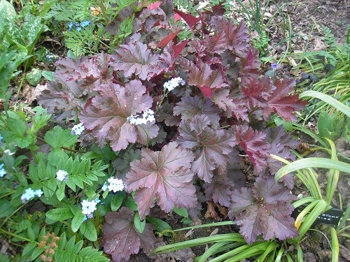 A lovely purple Heuchera with accompanying forget me nots.