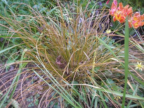 An orange coloured Carex which fits in with the colour scheme.